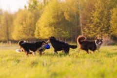 使用在草甸的四只澳大利亚牧羊犬 图库摄影