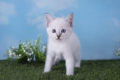 使用在草甸的泰国小猫在一个晴天 免版税库存图片
