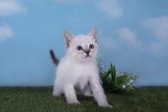 使用在草甸的泰国小猫在一个晴天 免版税库存照片