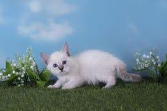 使用在草甸的泰国小猫在一个晴天 库存图片
