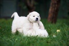 使用在草的两只金毛猎犬小狗 免版税图库摄影