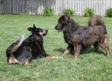 使用在草的两条狗 免版税库存图片