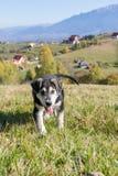 使用在草的多壳的小狗 免版税库存图片