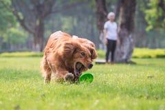 使用在草的女孩和金毛猎犬 图库摄影