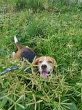 使用在草的小猎犬狗 库存照片