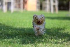 使用在草的狗 免版税库存照片