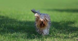 使用在草的狗 库存照片
