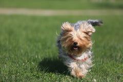 使用在草的狗 免版税库存图片