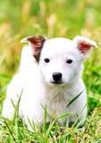 使用在草的白色美妙的小狗 免版税库存图片