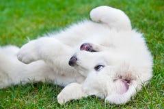 使用在草的逗人喜爱的白色小狗 擦亮Tatra护羊狗 库存图片