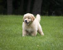 使用在草的逗人喜爱的金毛猎犬小狗 免版税库存图片