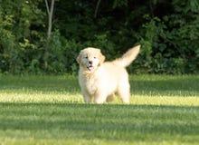 使用在草的逗人喜爱的金毛猎犬小狗 免版税图库摄影
