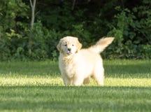 使用在草的逗人喜爱的金毛猎犬小狗 库存照片