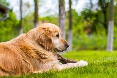 使用在草的金毛猎犬狗 免版税库存照片
