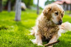 使用在草的金毛猎犬狗 免版税库存图片
