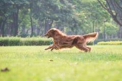 使用在草的金毛猎犬 库存照片
