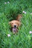 使用在草的金毛猎犬 库存图片