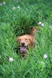 使用在草的金毛猎犬 免版税图库摄影