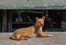 使用在街道上的狗在小镇 库存照片