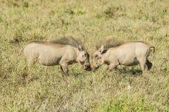 使用在长的草的两年轻warthogs 免版税图库摄影