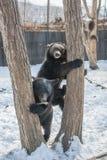 使用在雪、高大的树木和快乐崽的两头小熊翻滚 免版税库存照片