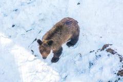 使用在雪、高大的树木和快乐崽的两头小熊翻滚 免版税图库摄影