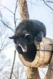 使用在雪、高大的树木和快乐崽的两头小熊翻滚 免版税库存图片