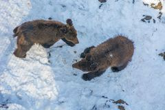 使用在雪、高大的树木和快乐崽的两头小熊翻滚 库存图片