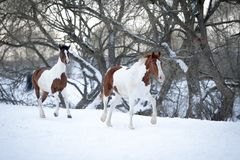 使用在雪的两匹油漆马在冷的冬天 免版税库存图片