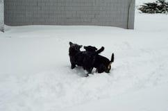 使用在雪的两条杂种狗 库存图片