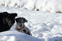 使用在雪的两条逗人喜爱的狗 免版税库存照片