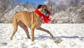使用在雪的丹麦种大狗穿一条红色围巾 库存照片