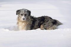 使用在雪的博德牧羊犬 免版税库存图片