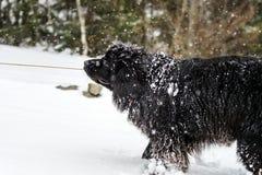 使用在雪的大黑水狗 免版税库存图片