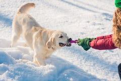 使用在雪的幼小金毛猎犬画象  库存图片