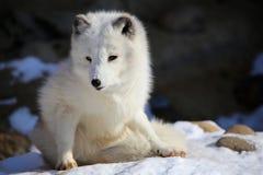 使用在雪的白狐 免版税库存图片