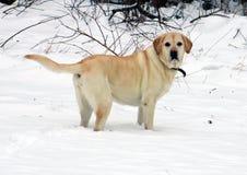使用在雪的美丽的金黄拉布拉多猎犬 免版税库存图片