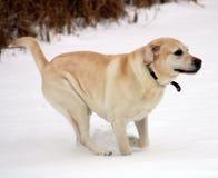 使用在雪的美丽的金黄拉布拉多猎犬 免版税库存照片
