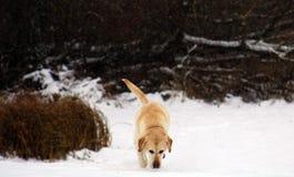 使用在雪的美丽的金黄拉布拉多猎犬 库存图片