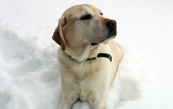 使用在雪的美丽的金黄拉布拉多猎犬 库存照片