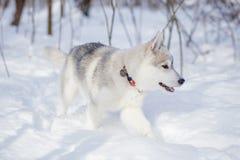 使用在雪的西伯利亚爱斯基摩人冬天 免版税库存照片