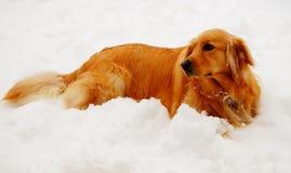 使用在雪的金毛猎犬狗 免版税库存图片