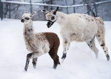 使用在雪的骆马姐妹 免版税库存图片