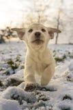 使用在雪的黄色拉布拉多小狗 库存图片