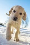 使用在雪的黄色拉布拉多小狗 免版税库存照片