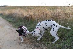 使用在领域的两条小狗在日落 免版税库存图片