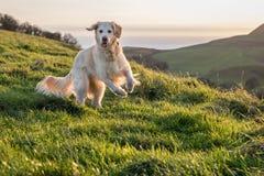使用在领域的金毛猎犬在日落 免版税库存图片