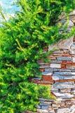 使用在风景设计的落叶松属 免版税库存图片