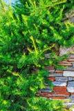 使用在风景设计的落叶松属 免版税图库摄影
