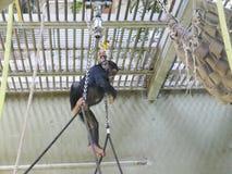 使用在高地的小黑猩猩 库存图片